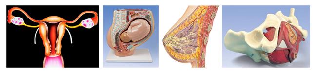 wom-anatomiya
