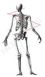 z-skelet