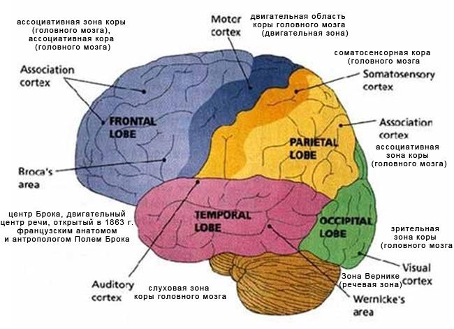 Зоны-коры-головного-мозга-1