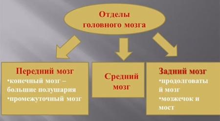 Основные-отделы-головного-мозга-человека-1-1
