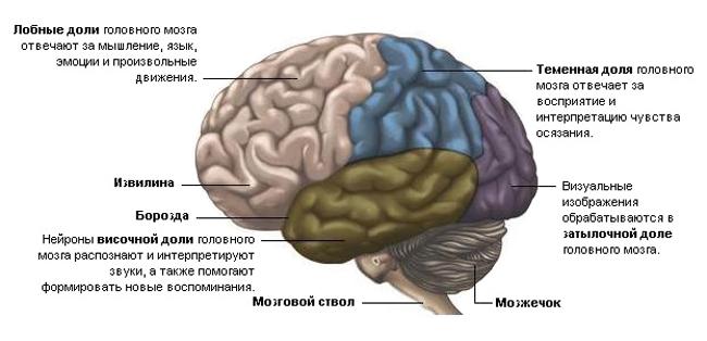 доли-мозга-человека