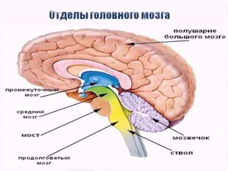отделы-головного-мозга-1-1